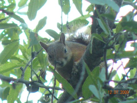 red squirrel in oak tree