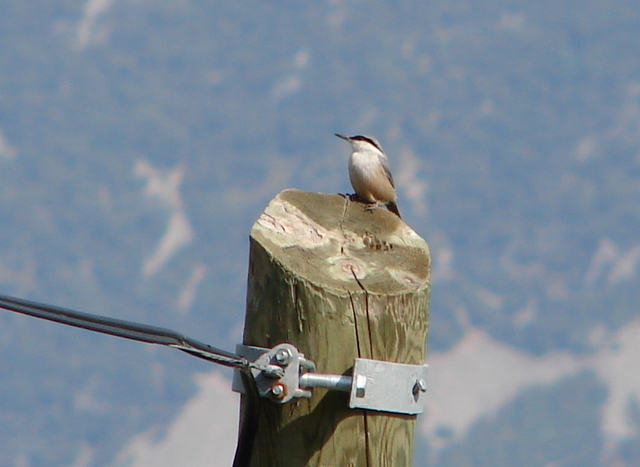 a rock nuthatch on a telegraph pole