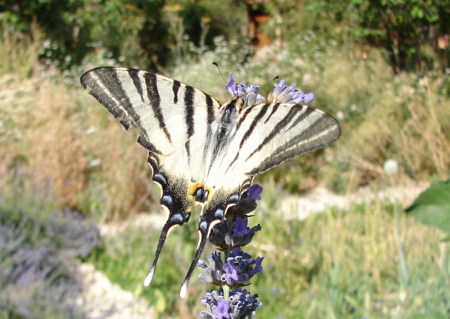 Scarce Swallowtail butterfly on lavender