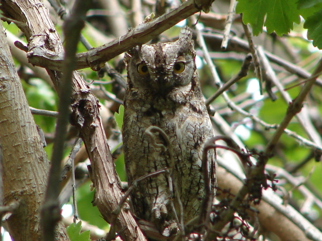 scops owls in plane tree