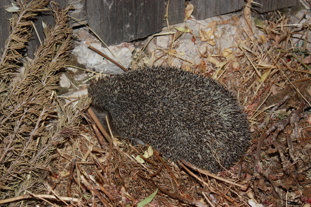 hedgehog seeking beetles water