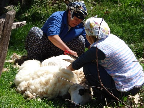 village women shearing sheep