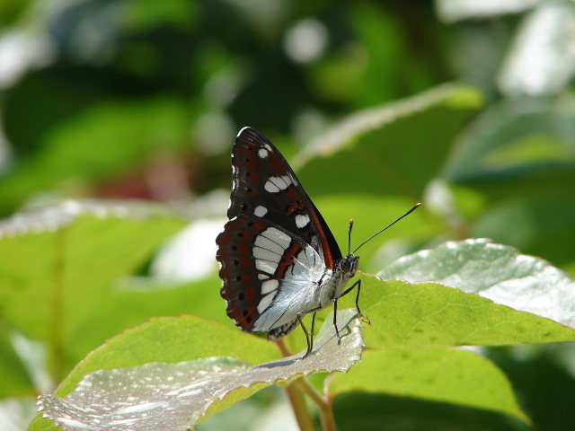 Underside of Southern White Admiral butterfly