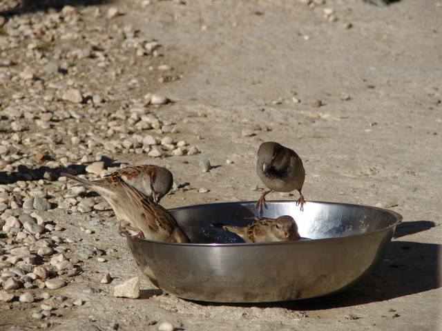 sparrows eating from dogs' dishes