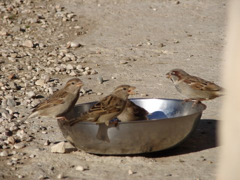sparrows finishing off the dogs' dinner