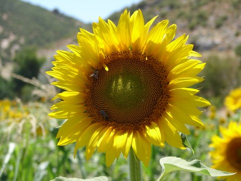 crops of Turkey - close-up of a sunflower