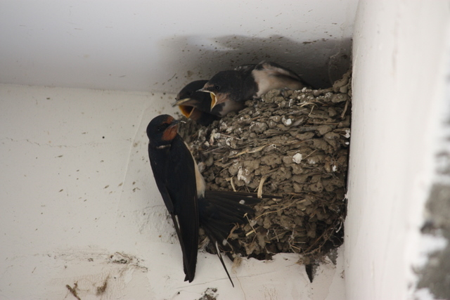 swallows feeding chicks