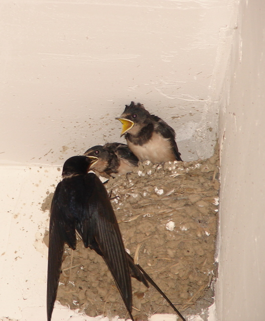 swallow chicks being fed