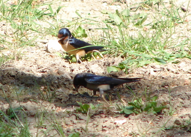 swallows gathering mud for nesting