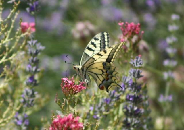 swallowtail butterfly on lavendar and valerian