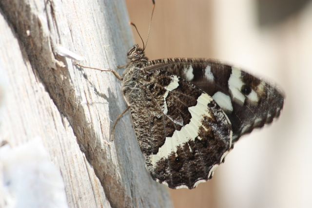 Syrian Rock Grayling butterfly