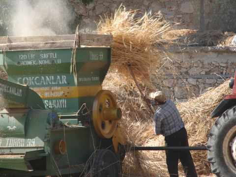 forking barley into the thresher