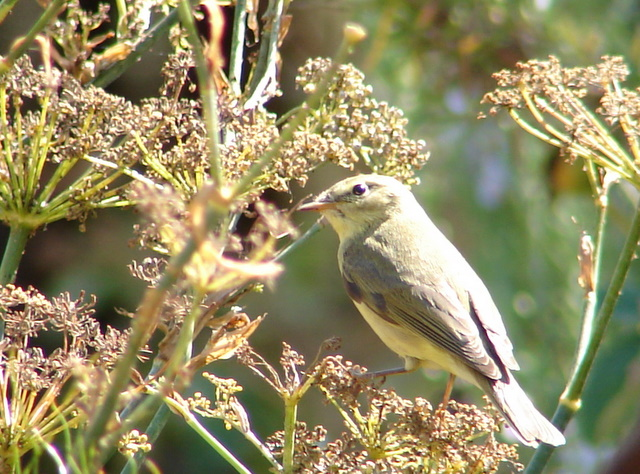 willow warbler on bronze fennel